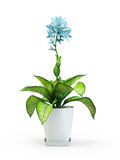 Blue star houseplant flower in pot. On white background. 3D Rendering, 3D Illustration Stock Images