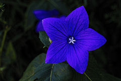 Blue star-shaped flower with white star center Royalty Free Stock Photo