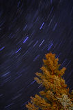 Blue Star Trails and Alaskan Spruce Tree at night. Vivid star trails over a spruce tree in an Alaskan forest Royalty Free Stock Photos