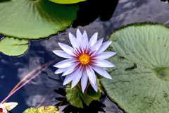 Free Blue Star Water Lily Nymphaea Nouchali In A Pond In Sarasota Stock Photo - 157704270