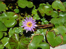 Blue star water lily Stock Photos