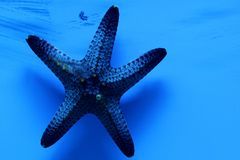 Blue starfish. Also known as the Comet Sea Star, Blue Sea Star, or Blue Linckia Sea Star, is found in the sunny areas of the reef and reef fringe, constantly Stock Images