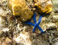 Blue starfish Stock Photos
