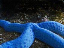 Blue starfish. Stock Photos