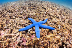 Blue starfish on a badly damaged coral reef Stock Images