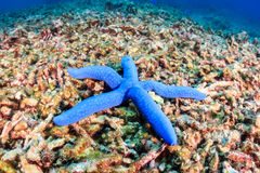 Blue starfish on a badly damaged coral reef Royalty Free Stock Photo