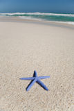 Blue starfish on a beach Royalty Free Stock Images