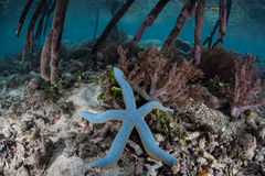 Blue Starfish and Mangrove Roots Stock Images