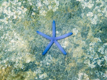 Blue starfish on the rock in sea royalty free stock photos