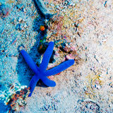Blue Starfish on Sandy Bottom of Reef Stock Images