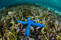 Blue Starfish and Seagrass. A Blue starfish lies on a seagrass meadow in Wakatobi National Park, Indonesia. This remote region harbors extraordinary marine Royalty Free Stock Image