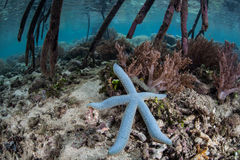 Blue Starfish Royalty Free Stock Images