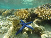 Blue starfish under the water. Sitting on the coral reef, photo taken in fiji islands Stock Photos