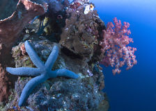 Blue starfish on wall reef Stock Photos