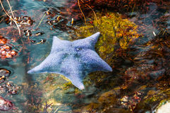 Blue starfish in the water Royalty Free Stock Images