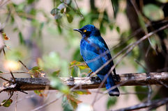 Blue Starling stock photo