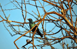 Blue starling bird Stock Photography