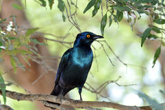 Blue Starling Exotic Bird Stock Photography