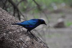 Blue starling. From Kruger park Southafrica royalty free stock photos
