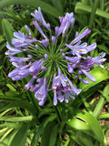 Blue Storm Agapanthus Preacox Stock Photo