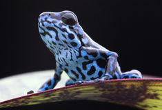 Blue strawberry poison dart frog tropical rain forest Royalty Free Stock Image