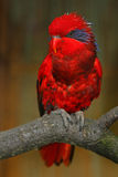 Blue-streaked lory, Eos reticulata, blue-necked lory, colourful parrot sitting on the branch, Animal in the nature habitat, Tanimb Stock Photography
