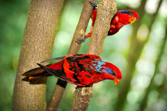 Blue-streaked Lory (Eos reticulata) Royalty Free Stock Image