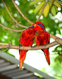 Blue-streaked Lory (Eos reticulata) Stock Photos
