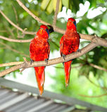 Blue-streaked Lory (Eos reticulata) Stock Images