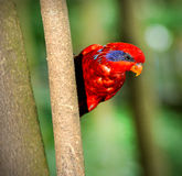 Blue-streaked Lory (Eos reticulata) Royalty Free Stock Photo