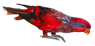 Blue-streaked Lory Stock Images