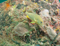 Blue stripe grunt on a reef Stock Image