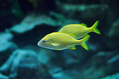 Blue stripe grunt in tropical waters Stock Images