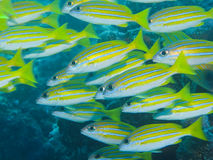 Blue-stripe Snapper, Great Barrier Reef, Australia Stock Photo