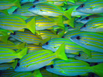 Blue stripe snappers. Blue-lined snappers are shoaling fish that are usually found in schools on the coral reefs in the maldives where they feed on small Royalty Free Stock Photos