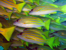Blue stripe snappers. Blue-lined snappers are shoaling fish that are usually found in schools on the coral reef in the maldives where they feed on small Stock Photo