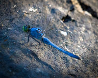 Blue Striped Dragonfly with Green Head Stock Images