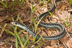 Blue-Striped Garter Snake Stock Images
