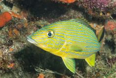 Blue striped grunt on a reef Stock Images