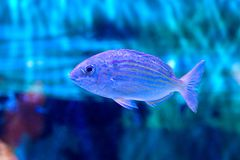 Blue Striped Grunt. A Blue Striped Grunt swimming underwater royalty free stock photo