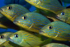 Blue striped grunts royalty free stock photography