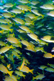 Blue striped Snapper Royalty Free Stock Photos