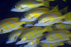 Blue-striped snappers stock photo