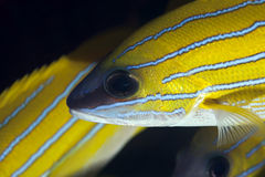 Blue-striped snappers stock images