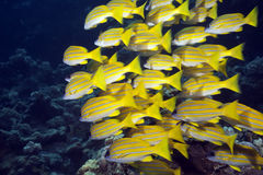 Blue-striped snappers royalty free stock images