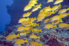 Blue-striped snappers stock photography