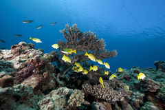 Blue-striped snappers and ocean stock photography