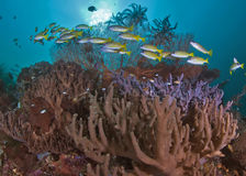Blue-striped snappers over coral reef.. Stock Image