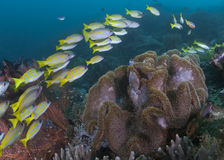 Blue-striped snappers over leather coral. Stock Photography