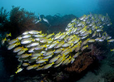 Blue-striped snappers parade across reef. Royalty Free Stock Photo